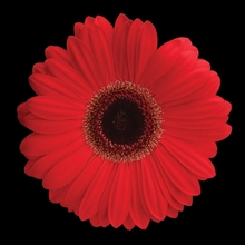 Red Daisy Wall Art