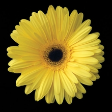 Yellow Daisy Wall Art