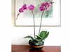 Phalaenopsis orchid plant in a ceramic vase