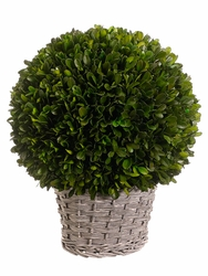 """12.6"""" Preserved Boxwood Ball in Wicker Style Basket"""
