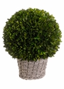 """12.6"""" Preserved Boxwood Ball in Basket"""