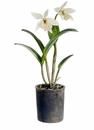"22"" Artificial Cattleya Orchid Plant in Clay Pot"