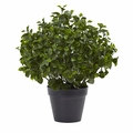 23� Peperomia Plant UV Resistant (Indoor/Outdoor)