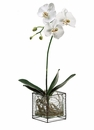 "26"" Phalaenopsis Orchid Plant in Hurricane Glass Vase"