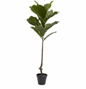 4� Fiddle Leaf Tree UV Resistant (Indoor/Outdoor)
