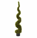 4� Mohlenbechia Spiral Tree