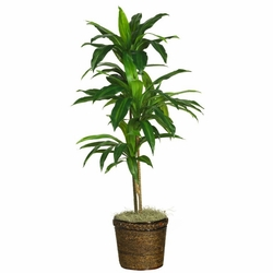 "48"" Dracaena with Basket Silk Plant (Real Touch)"