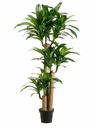 5.5' Artificial Tropical Dracaena Plant