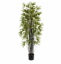 5� Black Bamboo Tree