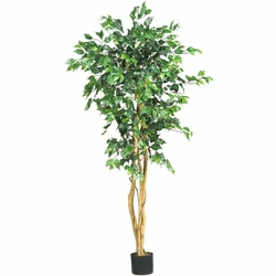 5' Ficus Silk Tree