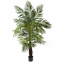 6� Areca Palm Tree