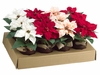 "6"" Assorted Poinsettia in Terra Cotta Pot (12 ea./Asst; 3 Colors,3-CR 3-PE, 6-RE) Mixed"