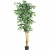 6' Ficus Silk Tree - SPECIAL!