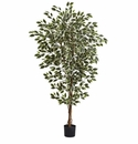 6� Hawaiian Ficus Tree x 3 w/1008 Lvs