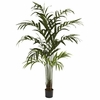 6� Kentia Palm Tree