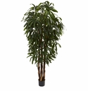 6� Raphis Palm Tree