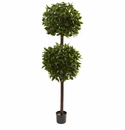 6� Sweet Bay Double Ball Topiary