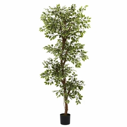 6� Variegated Ficus Tree
