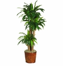"62"" Dracena with Basket Silk Plant (Real Touch)"