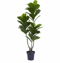 65� Fiddle Leaf Tree UV Resistant (Indoor/Outdoor)