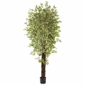 7.5� Variegated Mini Ficus w/4131 Lvs