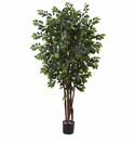 7� Sakaki Silk Tree