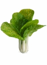 "8"" Artificial Cabbage Head - Set of 6"