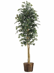 8' SILK FICUS TREE IN BASKET
