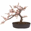 Artificial Cherry Blossom Bonsai Tree - Potted