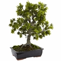 "30"" Giant Podocarpus with Ceramic Mossed Bonsai Planter"