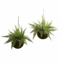 Set of 2 - Leather Fern in Mossy Hanging Basket (Indoor/Outdoor)