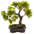 Podocarpus w/Mossed Bonsai Planter