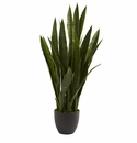 Sansevieria w/Black Planter