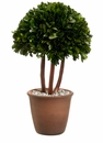 "Set of 2 - 13"" Preserved Boxwood Topiaries in Terra Cotta Pot"