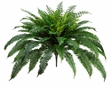 Set of 2 - 35 inch New Boston Fern Bushes - non potted
