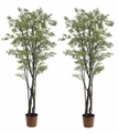 Set of 2 - 6' Japanese Silk Maple Trees