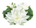 "Set of 6 - 9"" Artificial Floating Lotus With Waterdrops 2 Flowers & 1 Bud in Cream"