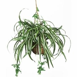 "27"" Spider Hanging Basket Silk Plant"