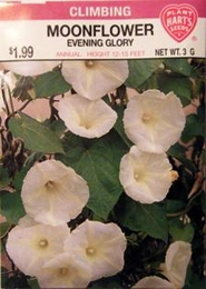 Moonflower Evening Glory