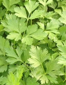 Herb Parsley Plain Leaf
