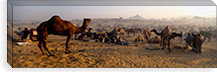 Camels in a fair, Pushkar Camel Fair, Pushkar, Rajasthan, India #PIM5474