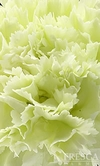 150 Stems Green Carnations