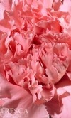 150 Stems Pink Carnations