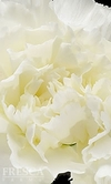 150 Stems White Carnations