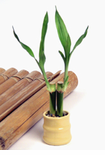 Lucky Bamboo Plant Favors