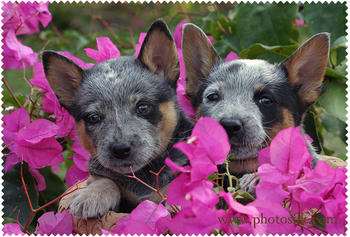 Aussie Cattle Pups