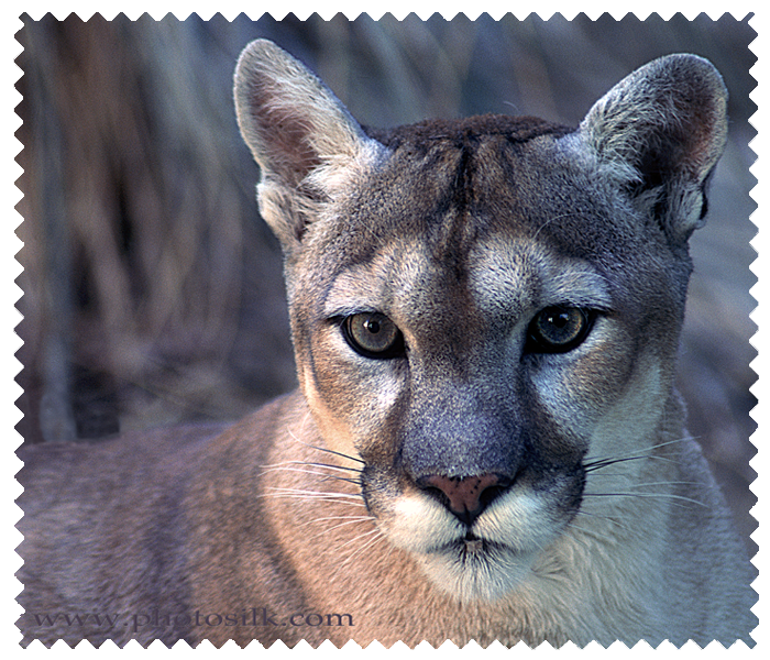 Mountain Lioness