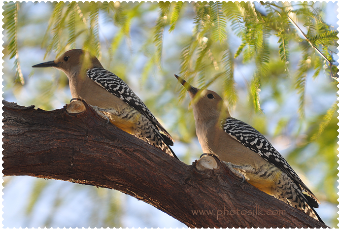 Woodpeckers in Mesquite