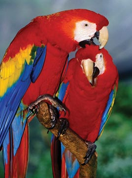 Ravensburger Puzzle <br>500 Piece <br>Scarlet Macaw