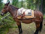 Phillips Formfitter Pack Saddle for Sale